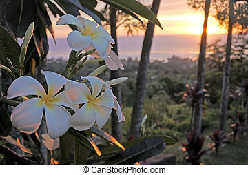 Plumeria flowers at sunset grows in Rarotonga, Cook Islands. Nature background. Copy space