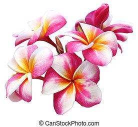 plumeria flowers isolated on white background