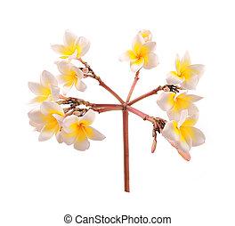 Plumeria flowers isolated on white