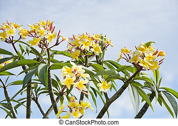 Plumeria flowers on a tree