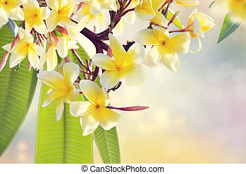 Plumeria flowers on a tree ,close up.