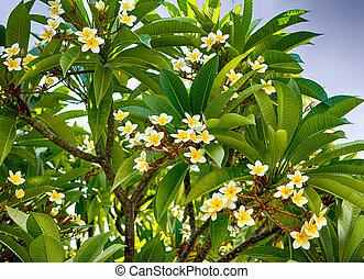 Plumeria flowers on the tree.