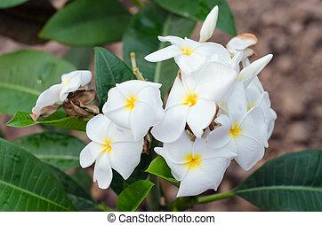 Plumeria flowers on the tree (Other names are frangipani, Apocynaceae, Nerium oleander, white plumeria, Leelavadee, Lunthom)