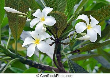 Plumeria flowers on tree (Other names are frangipani, Apocynaceae, Nerium oleander, white plumeria, Leelavadee, Lunthom)