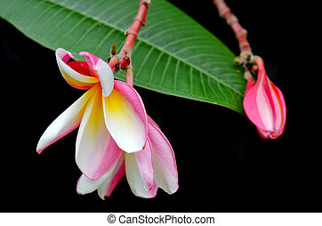 Plumeria flowers on tree (Other names are frangipani, Apocynaceae, Nerium oleander, white plumeria, Leelavadee, Lunthom)