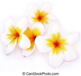 Plumeria flowers, white flowers