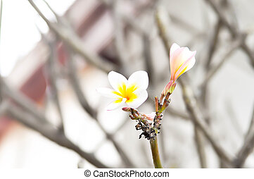 Plumeria  , frangipani flower, Apocynaceae, Pagoda tree, Temple