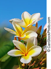 Plumeria (Frangipani) flowers