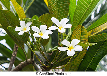 Plumeria (frangipani) flowers on tree