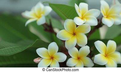 Plumeria Frangipani Flowers Panning Across  High Definition