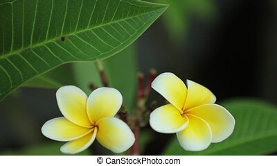 Plumeria Frangipani Flowers Panning Down High Definition