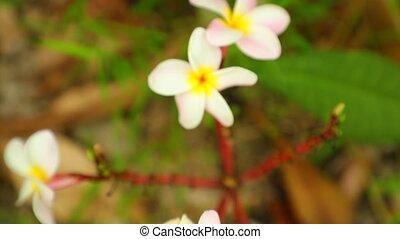 Plumeria Frangipani Flowers Panning Down High Definition -...