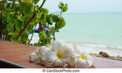 Plumeria is a tropical flowering tree. PHANGAN, THAILAND. -...