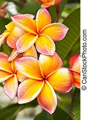 plumeria, květiny