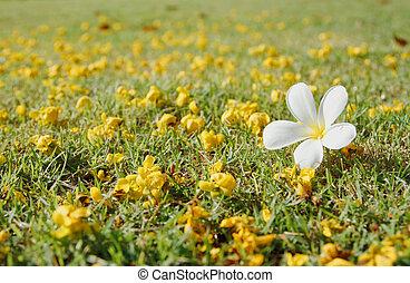 Plumeria on green grass