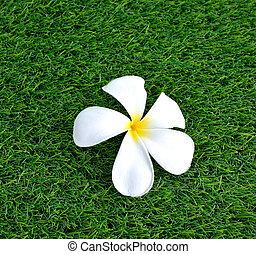 Plumeria on the green grass