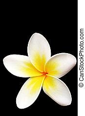 Plumeria or frangipani flower, isolated on black background.