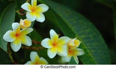 Plumeria Rubra Blooming Flowers HD