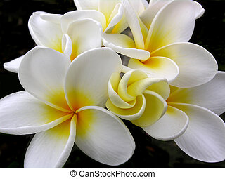 Plumeria - Taken on the big island of Hawaii