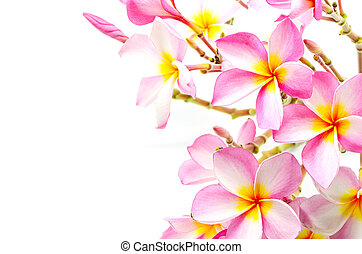 Plumeria - Blossom pink Plumeria flower, isolated on a white...