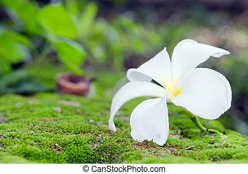 Plumeria white flower on moss and bokeh background (Other names are frangipani, Apocynaceae, Nerium oleander, white plumeria, Leelavadee, Lunthom)