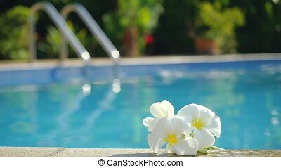 Plumeria white frangipani flowers by the pool. Changes focus...