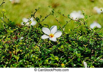 Plumeria White on green grass