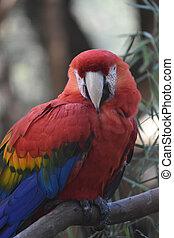 plumes, macaw, précieux, écarlate, rouges, clair