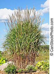 Ornamental Flame Grass (Miscanthus sinensis purpurascens) - ...