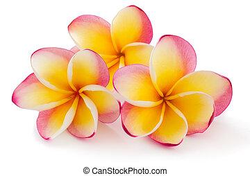 plumiera, 赤素馨花, frangipanni