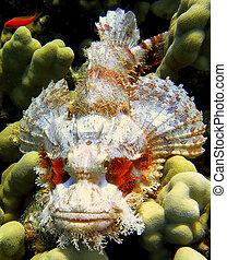 plumieri), manchado, pez, scorpionfish, -, diablo, (scorpaena