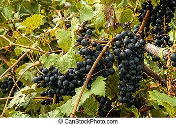 Plump Ripe Grapes