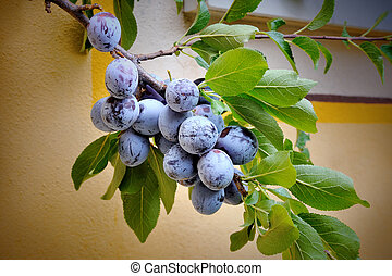 Plums on a tree in garden