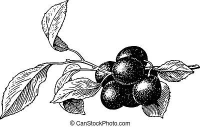 Plums (Prunus insititia) - Branch of plums (Prunus...
