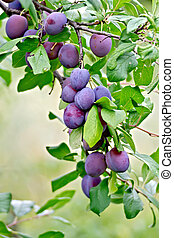 Branch with purple plums on a background of green leaves and grass
