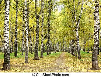pluvieux, parc, matin, automne, bouleau, chemin