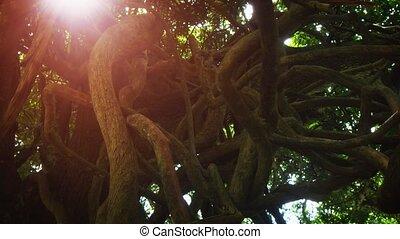 pnie, tropikalny, straszny, mauritius, kręcił, egzotyczny, drzewa