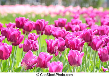 Pnk tulips - The pink tulips field, selective focus