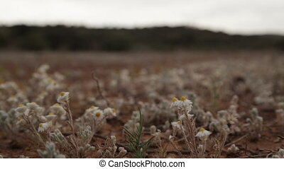 Poached egg daisies growing, Outback Australia, NT -...