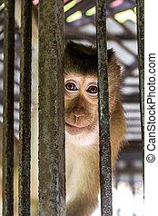 Poacher Ape Hutch - Monkey sitting strong Hutch Poacher