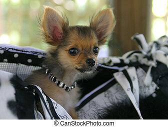 Pocket Puppy - A VERY CUTE puppy wearing jewelry and peeking...