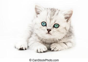 poco, atigrado, doméstico, británico, gato, plata