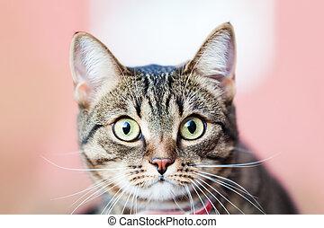 poco, británico, gato doméstico, animal, ambulante, al aire libre
