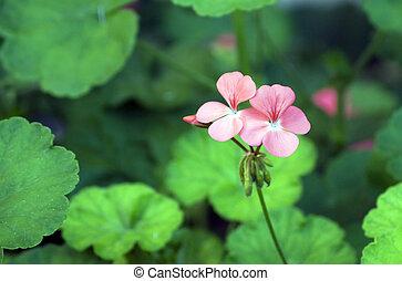 poco, fiore