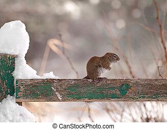 poco, frío, congelación, squirrel.