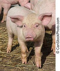poco, orgánico, granja, pastar, cerdos, encantador
