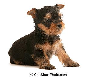poco, perrito, terrier, yorkshire