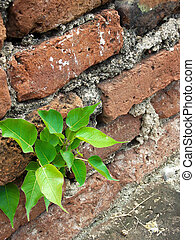 poco, planta