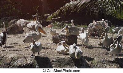 Pod of Pelicans - Pod of captive pelicans enjoying the ...