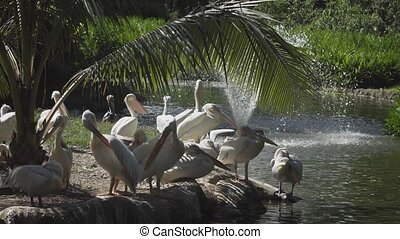 Pod of Pelicans Pondside - Pod of white pelicans,...
